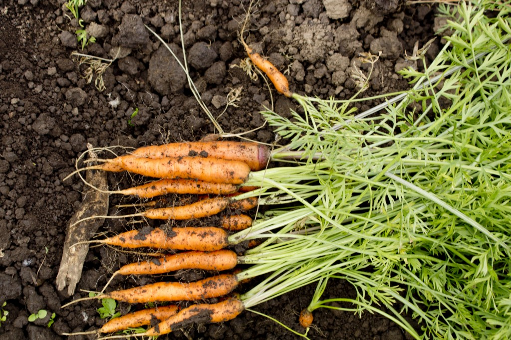 Carrots: Clean for the Eating • Gathering Together Farm
