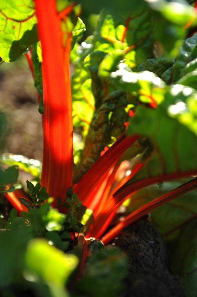 2015-05-28 Rhubarb 067