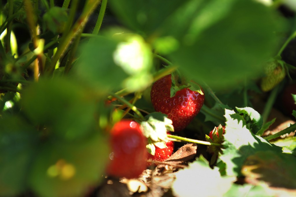 2015-05-28 Strawberries 076