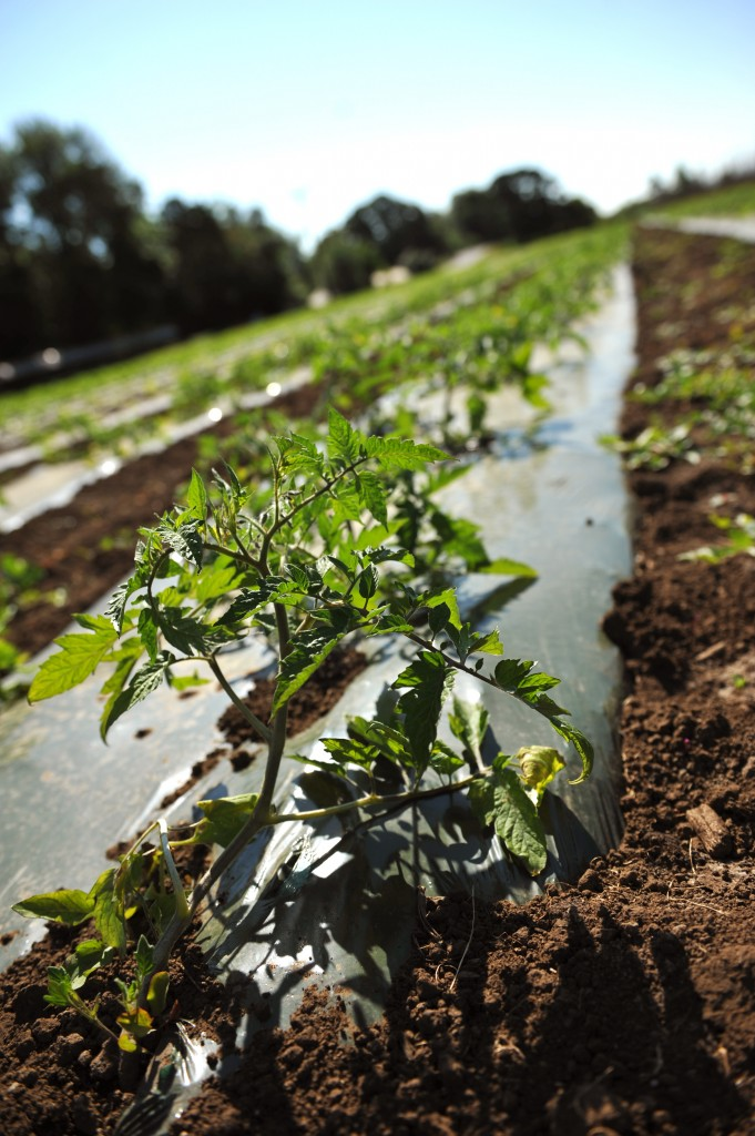 2015-05-28 Tomatoes 054